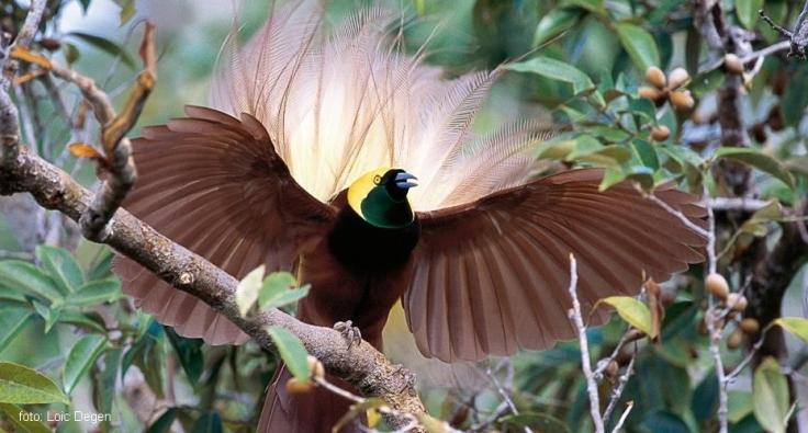 Burung-Cenderahwasih